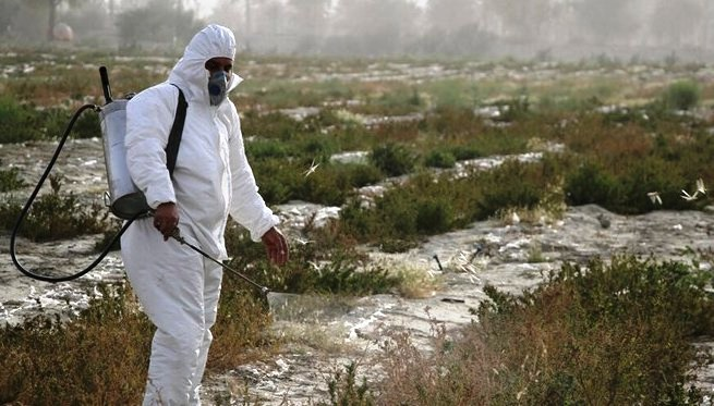 تخصیص ۱۰ میلیارد تومان برای مبارزه با ملخ صحرایی در فاز نخست