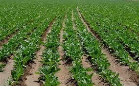 چهار هزار و ۱۰۰ هکتار از زمینهای دزفول به چغندر پاییزه اختصاص یافت