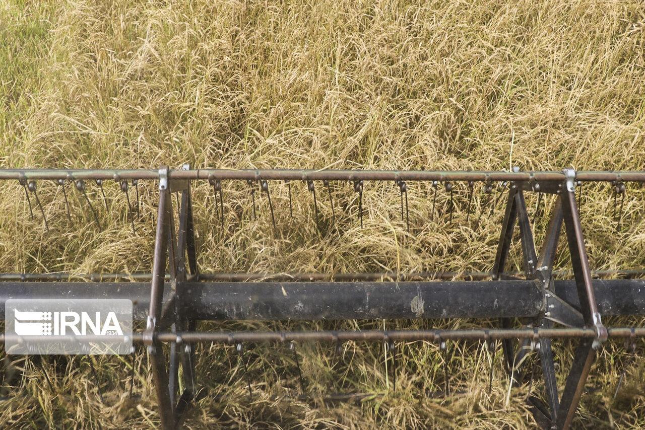برداشت برنج از شالیزارهای دزفول آغاز شد