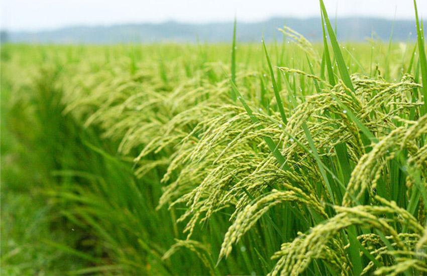کشت مستقیم برنج برای نخستین بار در دزفول انجام شد